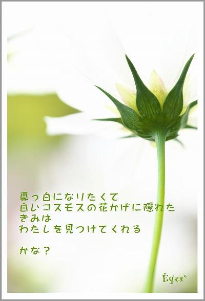 s-コスモス白.jpg